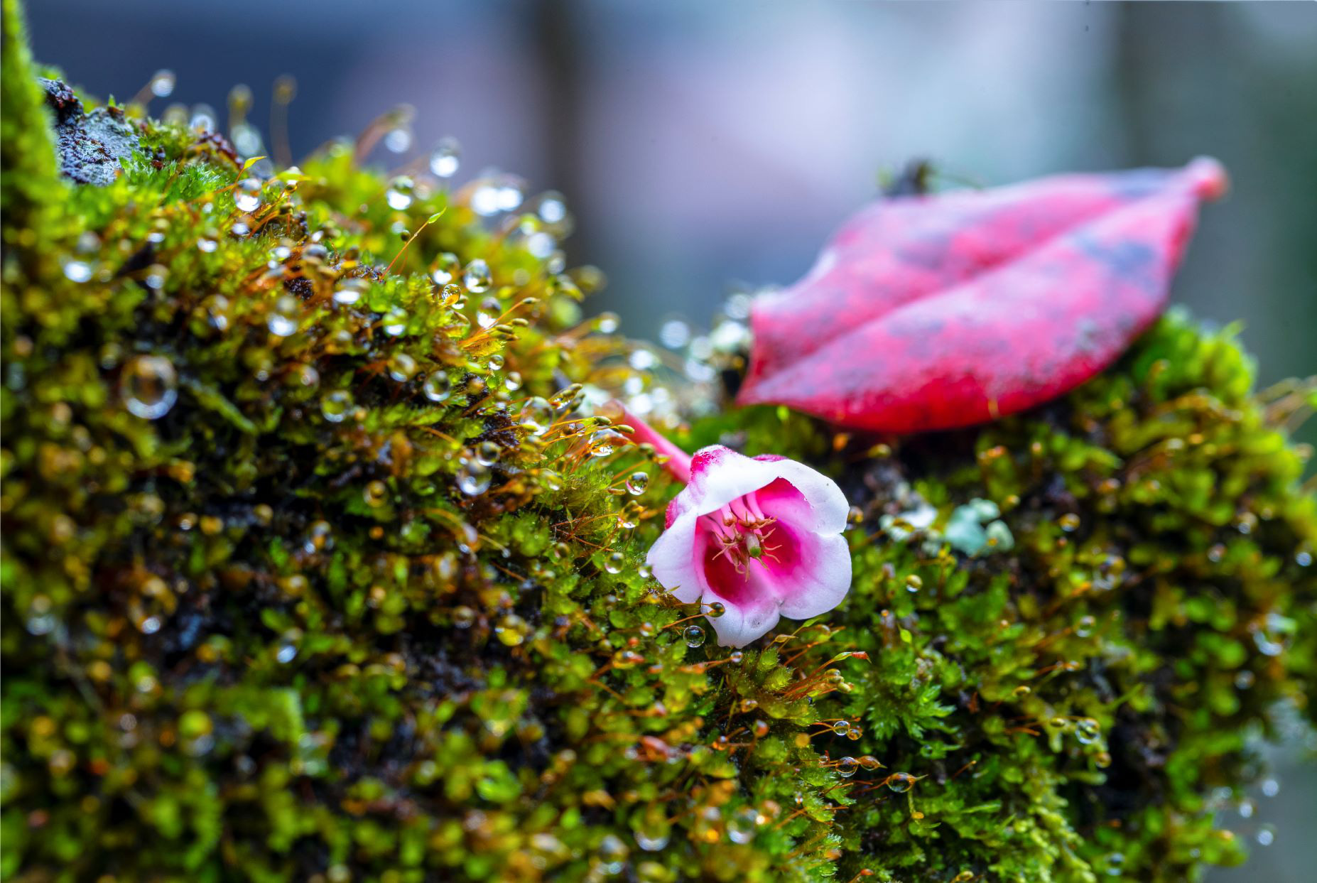 Chiêm ngưỡng hoa đào chuông độc đáo trên đỉnh Bà Nà - Ảnh 3.