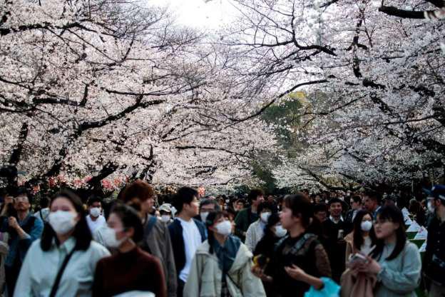 Nhật Bản rộn ràng đón hoa anh đào bất chấp Covid-19 - Ảnh 1.