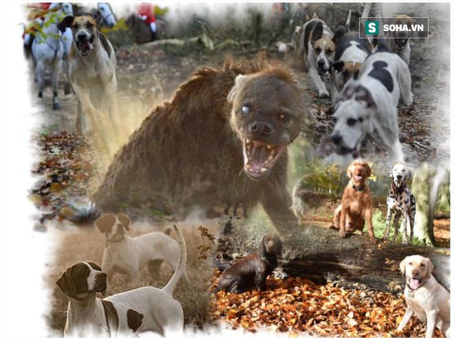 Linh cẩu bỏ mạng vì bầy chó săn: Khi kẻ thù quá đông và quá nguy hiểm - Ảnh 1.