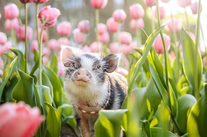 """Bộ ảnh chú heo nhỏ dạo chơi giữa vườn hoa tulip khiến người xem muốn """"lịm tim"""" - Ảnh 5."""