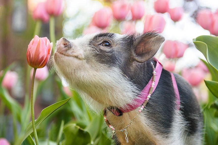 """Bộ ảnh chú heo nhỏ dạo chơi giữa vườn hoa tulip khiến người xem muốn """"lịm tim"""" - Ảnh 1."""