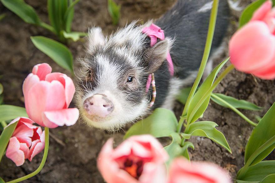 """Bộ ảnh chú heo nhỏ dạo chơi giữa vườn hoa tulip khiến người xem muốn """"lịm tim"""" - Ảnh 4."""