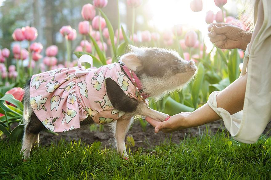 """Bộ ảnh chú heo nhỏ dạo chơi giữa vườn hoa tulip khiến người xem muốn """"lịm tim"""" - Ảnh 6."""