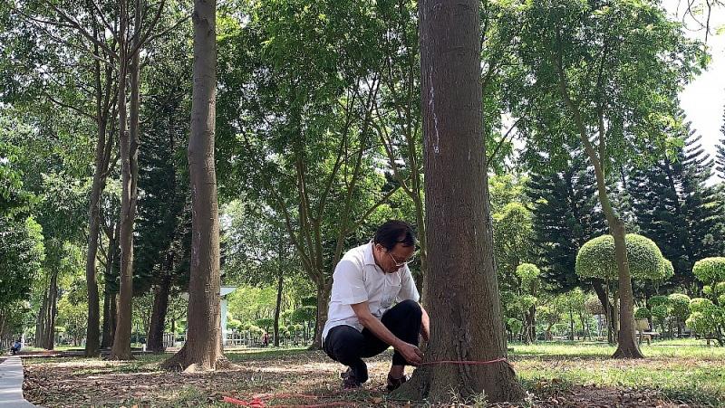 Chu vi thân cây đã được gần 1m.