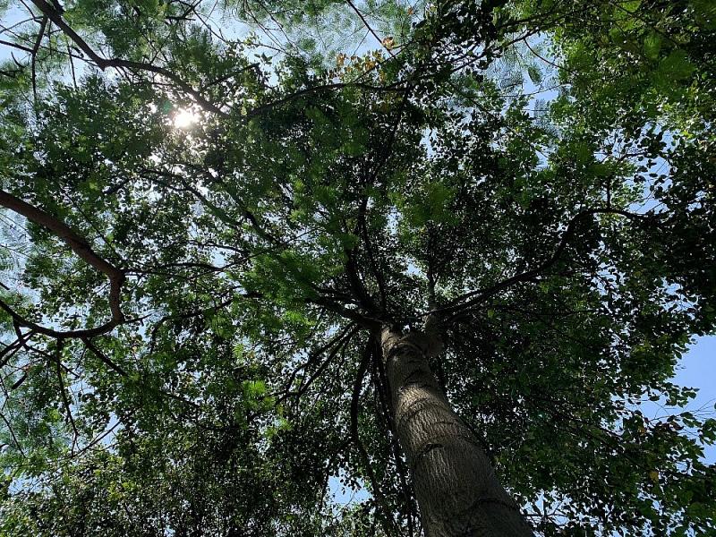 Tán cây tỏa bóng mát quanh năm.