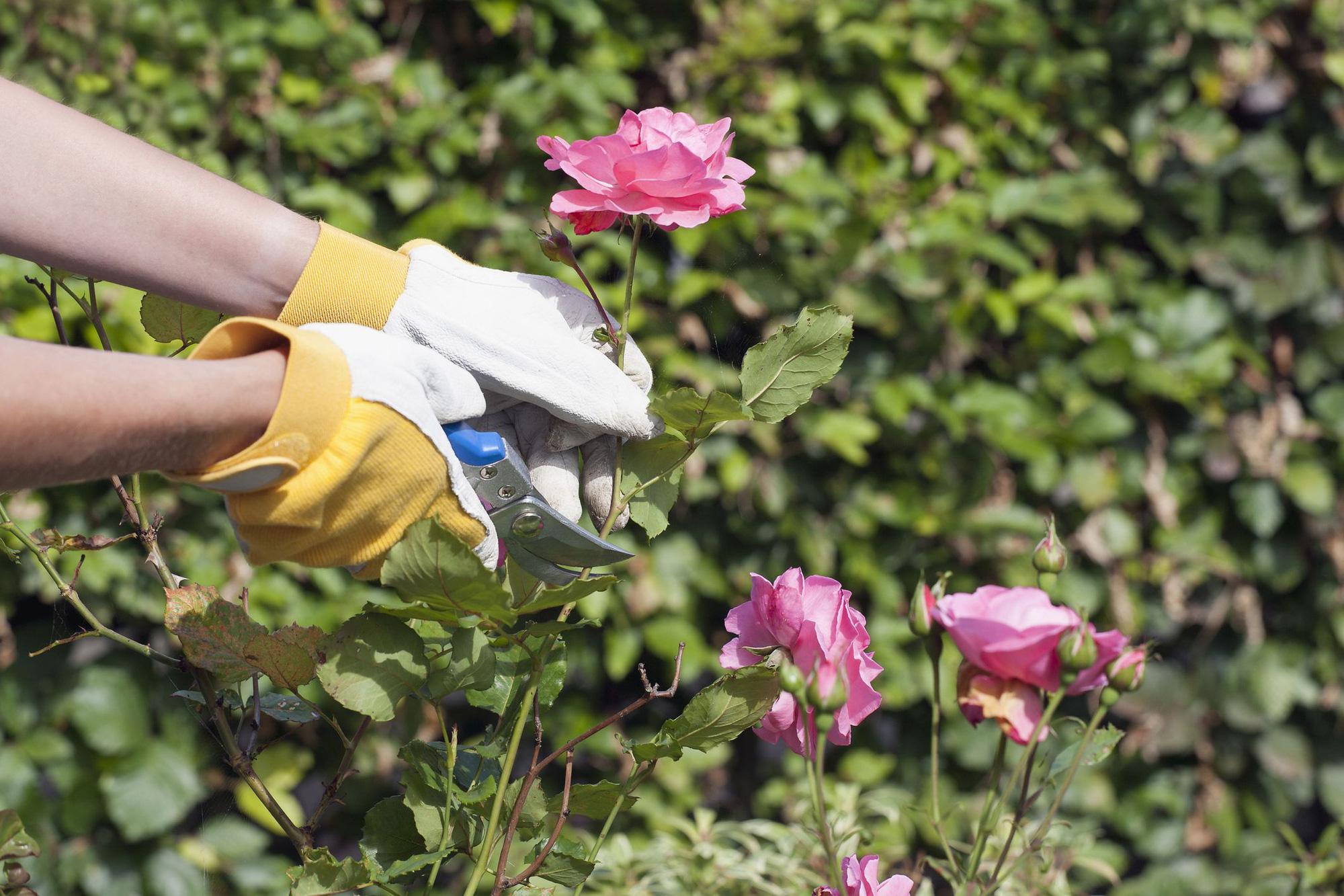 Các bước trồng hồng vô cùng đơn giản từ cành giâm ai đọc xong cũng thử nghiệm thành công - Ảnh 1.