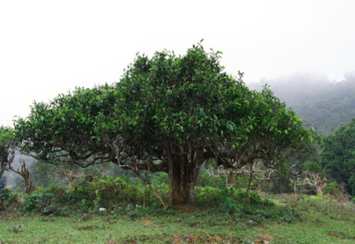 Dùng chè shan tuyết 400 năm tuổi ngừa ung thư quảng bá du lịch Việt Nam sau dịch Covid-19 - Ảnh 1.