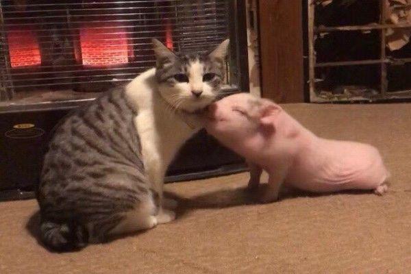 Mèo ú đanh đá đạp cho lợn con loi choi 1 phát lăn lông lốc, sự thật thú vị đằng sau khiến nhiều người gật gù khen bạn mèo - Ảnh 3.