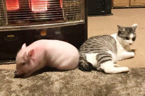 Mèo ú đanh đá đạp cho lợn con loi choi 1 phát lăn lông lốc, sự thật thú vị đằng sau khiến nhiều người gật gù khen bạn mèo - Ảnh 4.