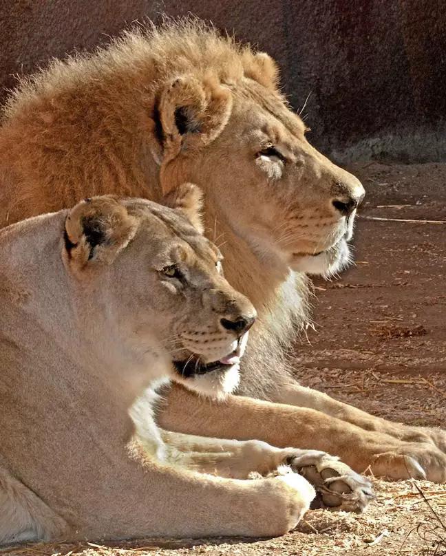 Cặp sư tử già cỗi được an tử cùng lúc để không con nào phải nếm trải nỗi cô đơn trên cuộc đời - Ảnh 2.