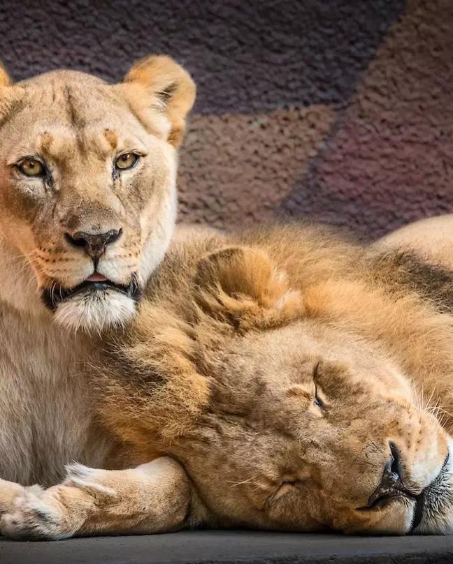 Cặp sư tử già cỗi được an tử cùng lúc để không con nào phải nếm trải nỗi cô đơn trên cuộc đời - Ảnh 3.