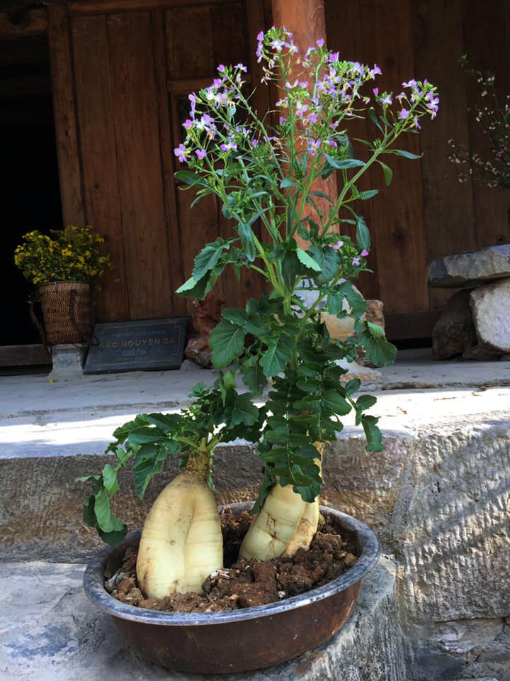 """Chán đào, quất ngày Tết, dân mạng """"đổi gió"""" sang chơi loạt cây bonsai chất lừ: Củ cải khổng lồ nở hoa tím biếc, táo lùn """"pha-ke"""" chi chít quả đỏ - Ảnh 2."""