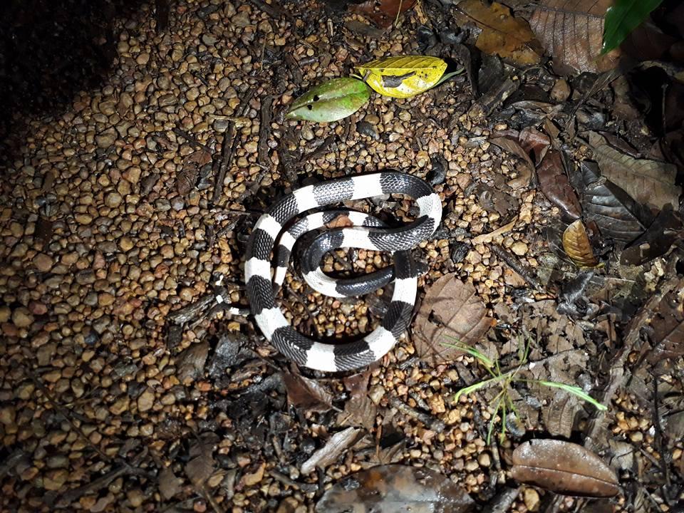 Một con rắn cạp nia. Ảnh: Phan Thức