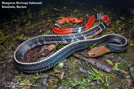 Cạp nia đầu vàng. Ảnh: The Reptile Database