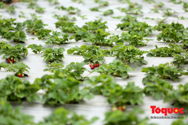 Những trái dâu tây Mộc Châu đã về đến thủ đô Hà Nội
