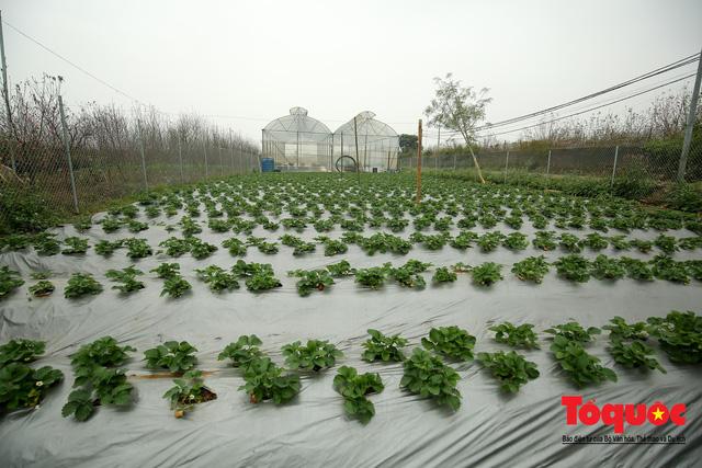 Khám phá vườn dâu tây đầu tiên ở Hà Nội
