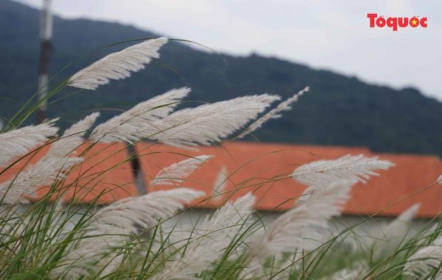 Mê mẩn mùa lau trắng ở Đà Nẵng  - Ảnh 2.