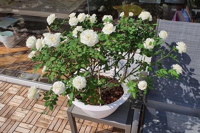 Khu vườn ngập sắc hoa trong biệt thự của Vũ Thu Phương - Ảnh 10.