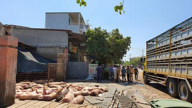 Huế: Phát hiện hàng chục con lợn chết nằm la liệt chờ trước lò mổ - Ảnh 1.