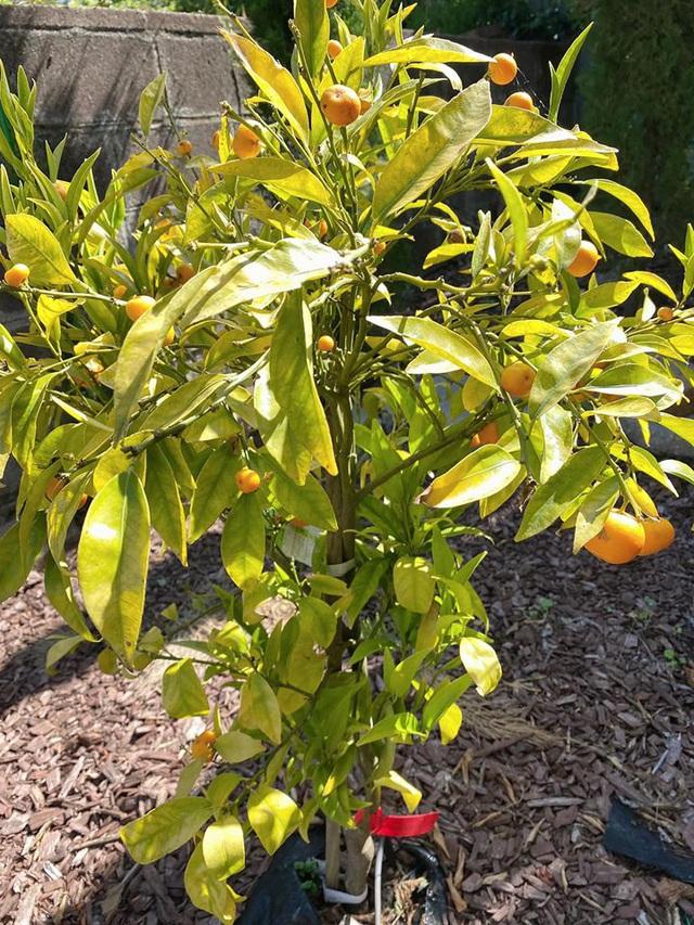 Trái cây sum xuê vườn nhà Nhật Tinh Anh đẹp như resort - Ảnh 1.
