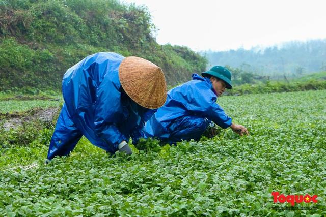 """Nông dân đội rét thu hoạch """"rau siêu sạch"""" trồng trên giếng cổ - Ảnh 7."""