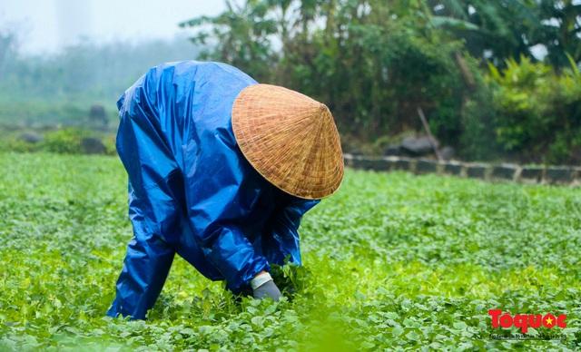 """Nông dân đội rét thu hoạch """"rau siêu sạch"""" trồng trên giếng cổ - Ảnh 6."""