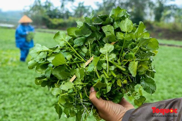 """Nông dân đội rét thu hoạch """"rau siêu sạch"""" trồng trên giếng cổ - Ảnh 9."""