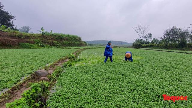 """Nông dân đội rét thu hoạch """"rau siêu sạch"""" trồng trên giếng cổ - Ảnh 3."""