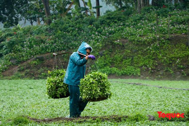 """Nông dân đội rét thu hoạch """"rau siêu sạch"""" trồng trên giếng cổ - Ảnh 8."""