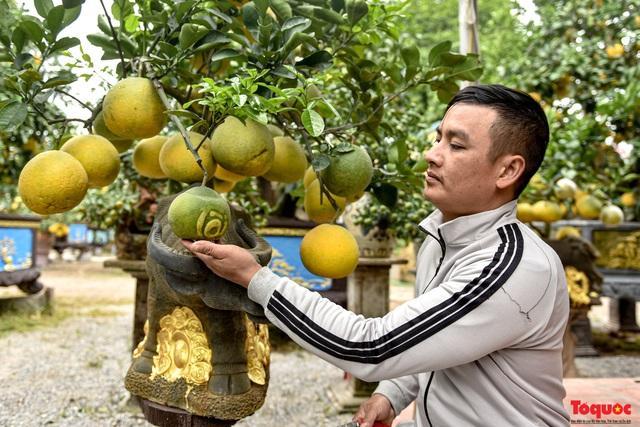 Bưởi độc 200 trăm tuổi, giá thuê hàng trăm triệu ở Hưng Yên - Ảnh 8.