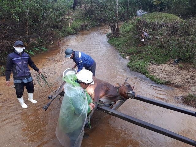 Gần 500 gia súc một huyện miền núi Thừa Thiên Huế chết vì rét - Ảnh 1.
