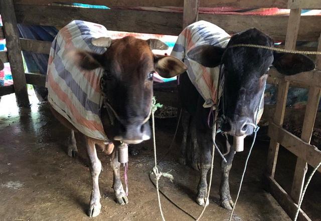 Gần 500 gia súc một huyện miền núi Thừa Thiên Huế chết vì rét - Ảnh 2.