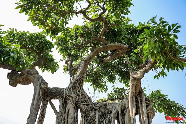 Cây sanh cổ dáng lạ được rao bán 700 triệu ở Hà Nội - Ảnh 4.