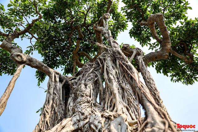 Cây sanh cổ dáng lạ được rao bán 700 triệu ở Hà Nội - Ảnh 9.