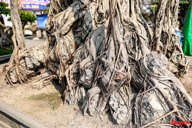 Cây sanh cổ dáng lạ được rao bán 700 triệu ở Hà Nội - Ảnh 5.