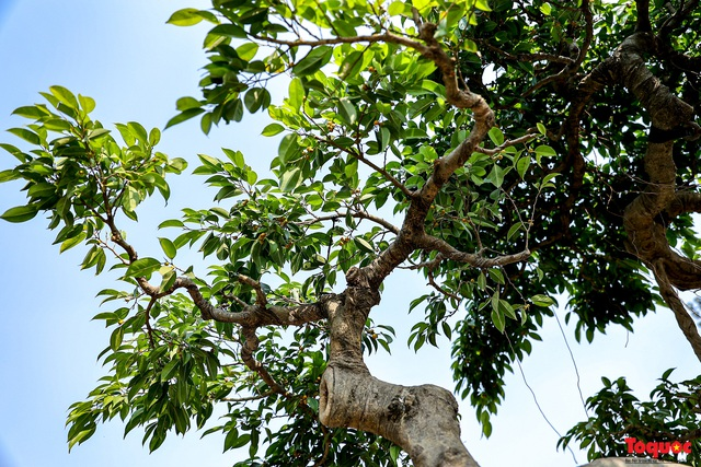 Cây sanh cổ dáng lạ được rao bán 700 triệu ở Hà Nội - Ảnh 10.
