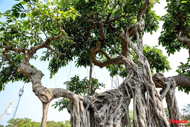 Cây sanh cổ dáng lạ được rao bán 700 triệu ở Hà Nội - Ảnh 8.