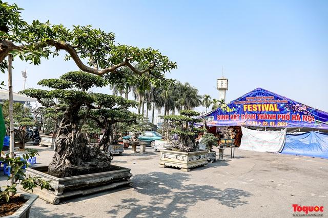 Cây sanh cổ dáng lạ được rao bán 700 triệu ở Hà Nội - Ảnh 1.