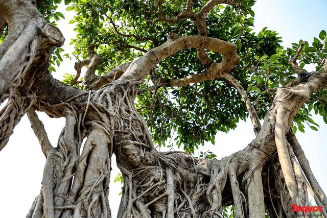 Cây sanh cổ dáng lạ được rao bán 700 triệu ở Hà Nội - Ảnh 7.
