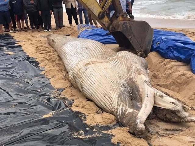 Cá voi nặng khoảng 2 tấn dạt vào bờ biển Quảng Bình - Ảnh 1.