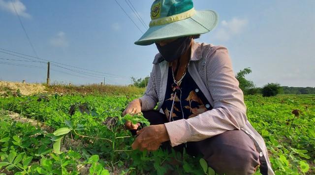 Thừa Thiên Huế: Nông dân lo lắng trước nguy cơ bùng phát bệnh khảm lá sắn - Ảnh 2.
