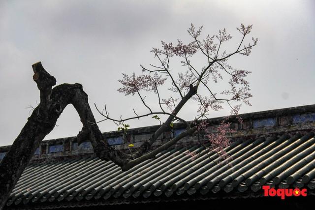 Du khách thích thú ngắm hoa ngô đồng nở rộ trong Hoàng cung Huế - Ảnh 8.