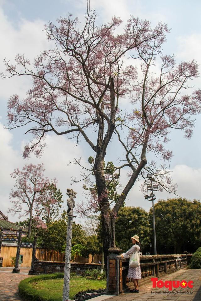Du khách thích thú ngắm hoa ngô đồng nở rộ trong Hoàng cung Huế - Ảnh 13.