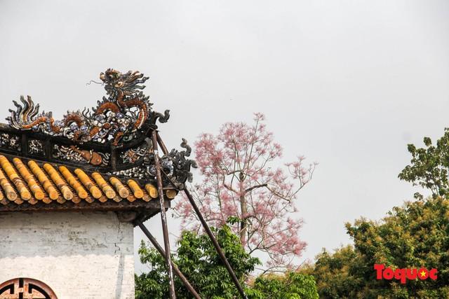 Du khách thích thú ngắm hoa ngô đồng nở rộ trong Hoàng cung Huế - Ảnh 3.