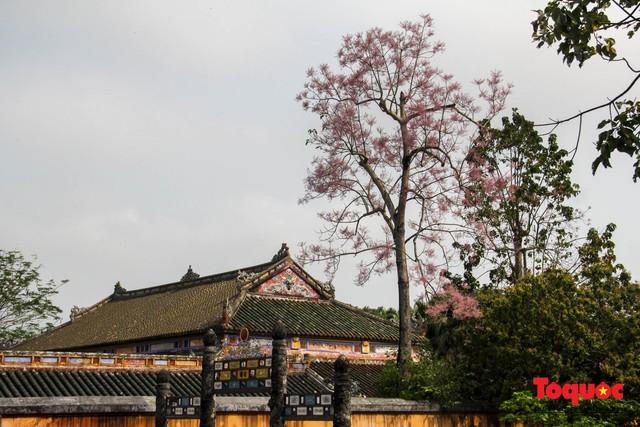 Du khách thích thú ngắm hoa ngô đồng nở rộ trong Hoàng cung Huế - Ảnh 4.