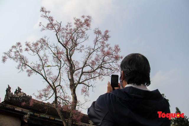 Du khách thích thú ngắm hoa ngô đồng nở rộ trong Hoàng cung Huế - Ảnh 12.