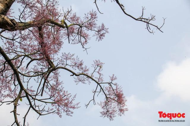 Du khách thích thú ngắm hoa ngô đồng nở rộ trong Hoàng cung Huế - Ảnh 9.