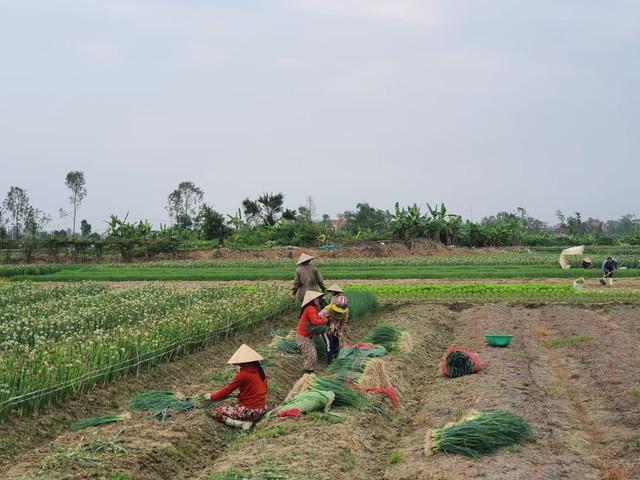 Thừa Thiên Huế: Nông dân gặp khó khi rau xanh được mùa mất giá - Ảnh 3.