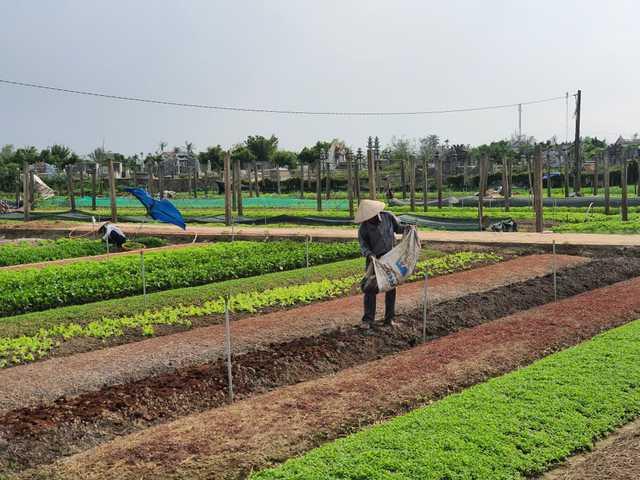 Thừa Thiên Huế: Nông dân gặp khó khi rau xanh được mùa mất giá - Ảnh 2.