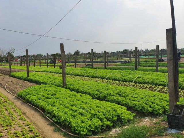 Thừa Thiên Huế: Nông dân gặp khó khi rau xanh được mùa mất giá - Ảnh 1.
